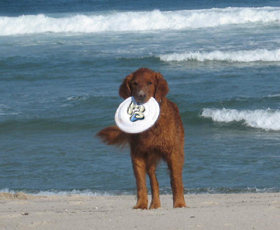 caesar playing frisbee on the orv trails of nauset beach in orleans