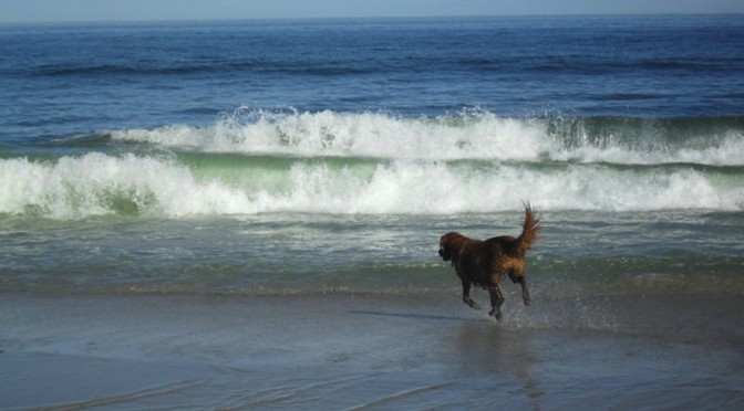 dog running on south beach in chatham