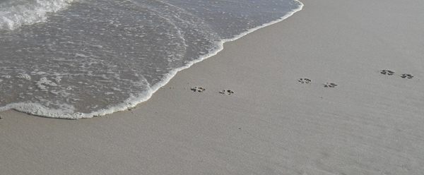 dog paw prints at cape cod national seashore's nauset light beach in eastham