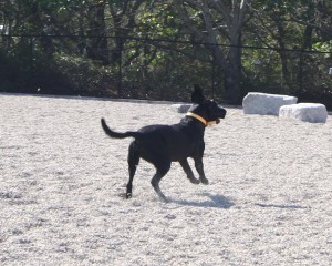 black dog chasing a ball in provincetown's pilgrim bark park
