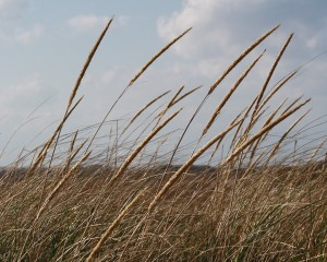 beach grass at head of the meadow beach