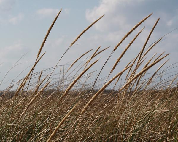 beach grass at head of the meadow beach