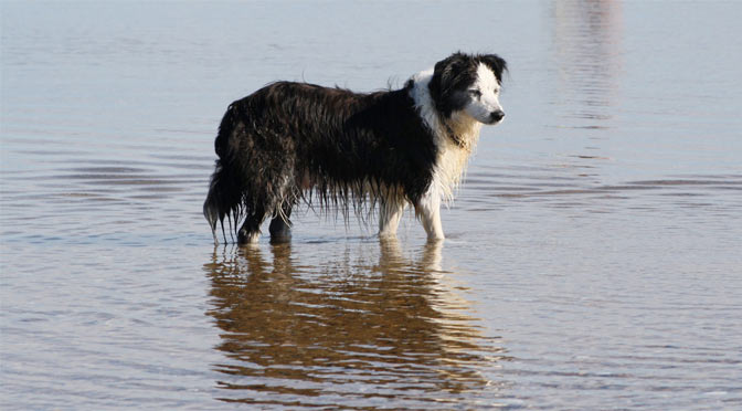 A dog walks through a sandbar at Nauset Light Beach, where dogs are allowed all summer long.