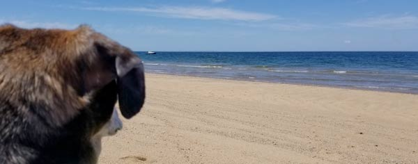 A dog scans the horizon at Herring Cove Beach in P-town.