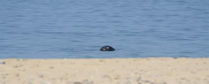 A seal appears just offshore at Race Point.