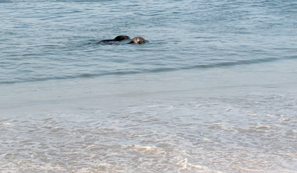 Seals swim a few feet offshore at race point beach. This is why you need to be very careful for great white sharks!