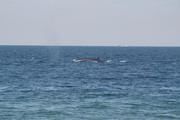 A whale swimming past Race Point Beach's ORV trails.