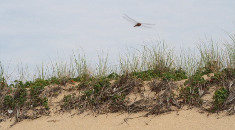 A dragonfly cruises near sand dunes at race point beach