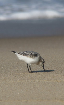 nesting shorebirds frequently affect orv access at cape cod beaches
