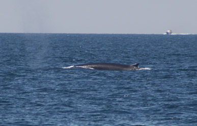 a whale surfaces off race point beach