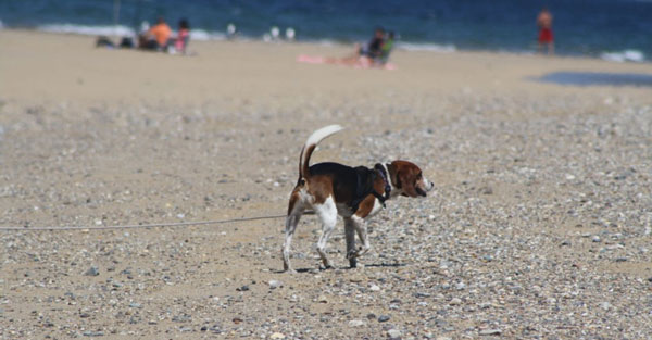 Staying on vacation at a dog-friendly hotel in Mashpee? Make sure to say hi to this beagle if you see him.