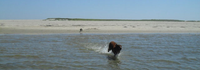 Nugget watches Caesar race through the water at South Beach in Chatham.