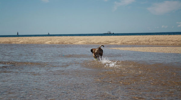 a puggle chases a bad cuz on the beach near truro, cape cod