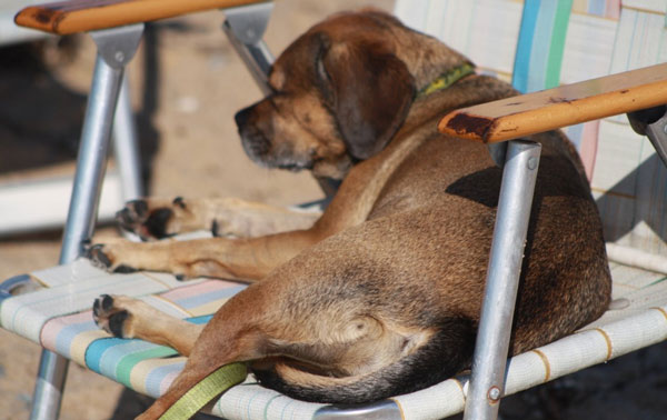 Dog-friendly hotels in Sandwich are fine, but nugget prefers snoozing in a beach chair..