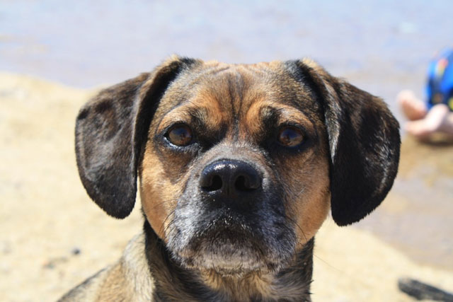 Nugget the puggle at a beach near a dog-friendly hotel in Yarmouth, MA