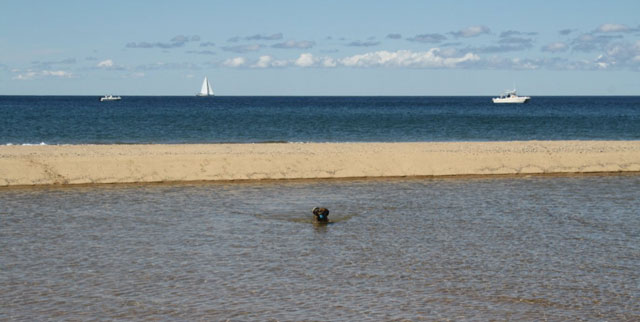 Nugget the puggle retrieves a bad cuz near a sandbar on a beach in Chatham, MA