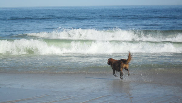 Caesar running into the waves crashing at Nauset Beach in Orleans.