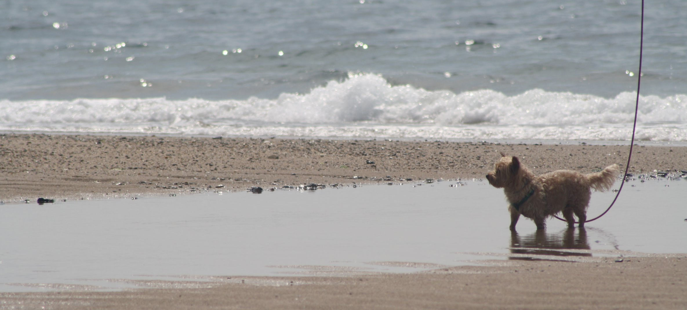 A small dog watches from a sandbar on a beach in Yarmouth, MA