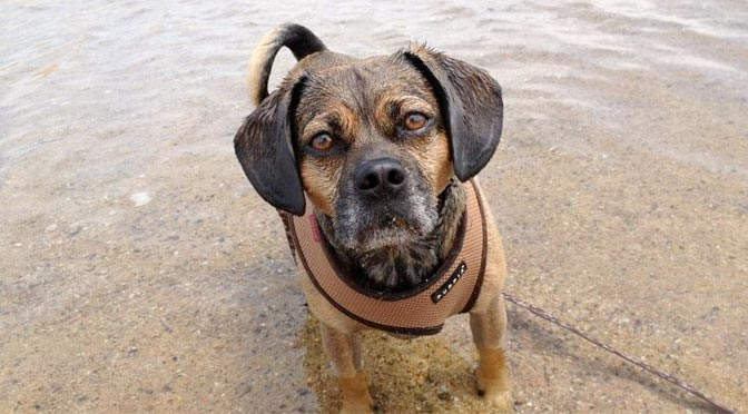 Nugget the Puggle taking a dip on a beach in Falmouth, MA on Cape Cod.