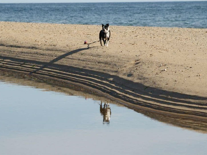 Monty the Boston Terrier runs on a sand bar at a beach in Provincetown on cape cod.