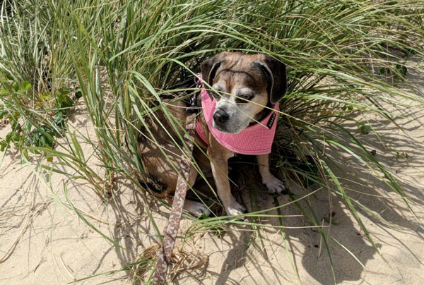 Trying to find some shade on a hot day at the beach in Truro. Watch out for ticks on your dog, the beach grass is covered with them.