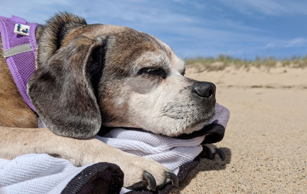 Beach naps are the best naps. To find a beach near you on Cape Cod that allows dogs check out our dog-friendly beaches guide.
