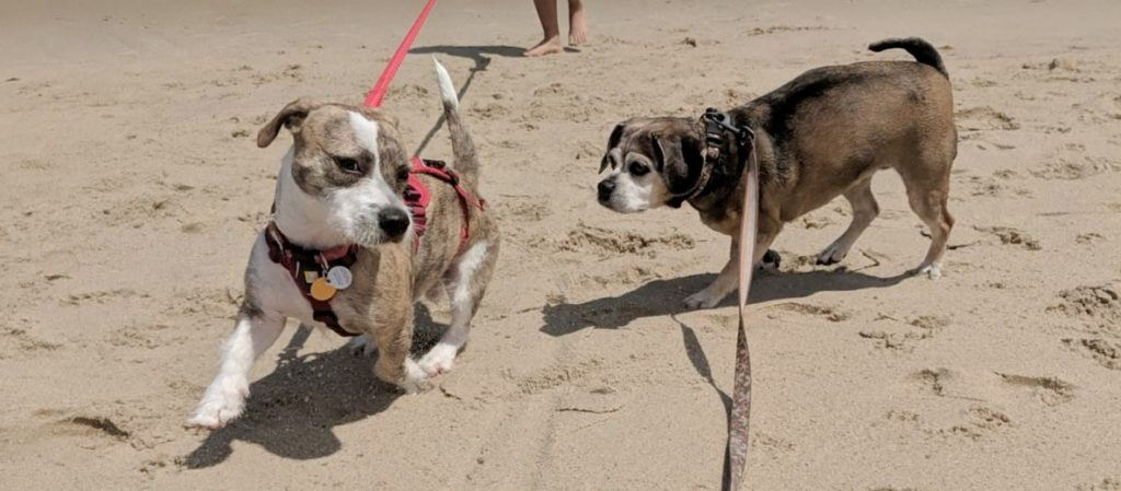 Two dogs playing at Seagull Beach in Yarmouth, MA.