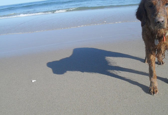 Caesar the golden retriever casts a shadow on the sand bar at nauset beach in Orleans.
