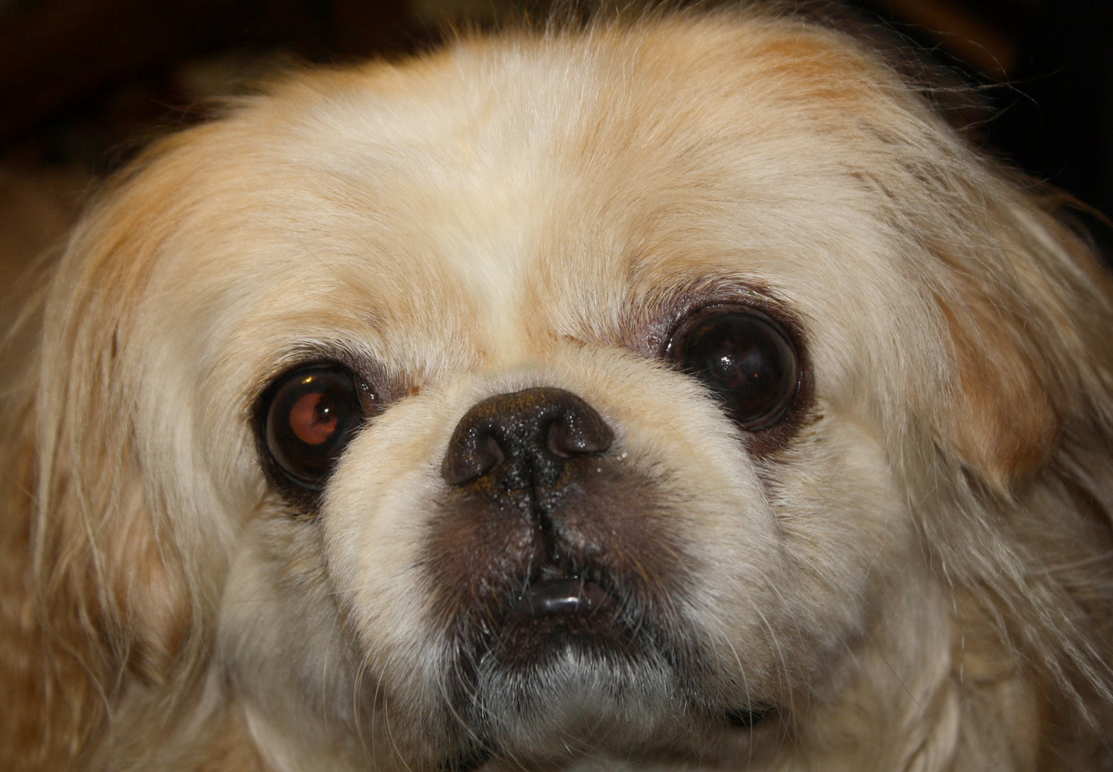 A Pekinese dog looks hungry - quick, find a restaurant that allows dogs.