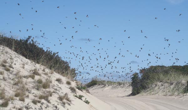 A swarm of birds flying over the ORV Trail at Race Point Beach could spell trouble for Jeep Owners without wide-brimmed hats.