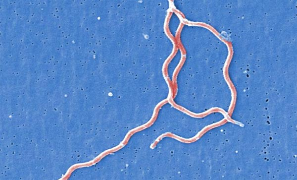 The Borrelia burgdorferi bacteria is a pathogenic organism is responsible for causing the illness Lyme disease.