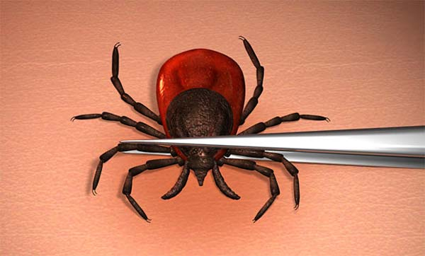 Deer ticks are the only ticks that carry Lyme disease, but there are other diseases spread by other tick species so it's important to be aware and follow safety precautions.
