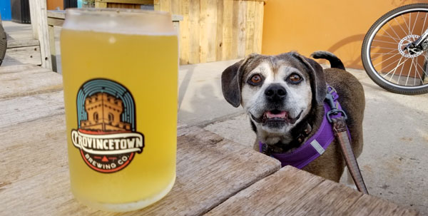 Nugget the puggle next to a cold beer at Provincetown Brewing, where dogs are allowed inside and outside all summer long.
