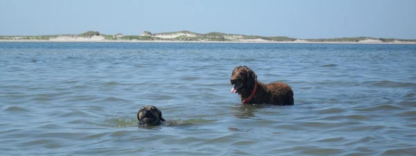 Caesar and Nugget play in the water off of South Beach in Chatham.