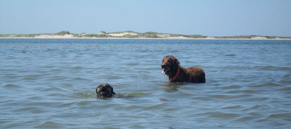 Dogs swimming off of South Beach in Chatham. Similar to Monomoy National Wildlife Refuge, some of the best trails on these islands are accessible only by boat.