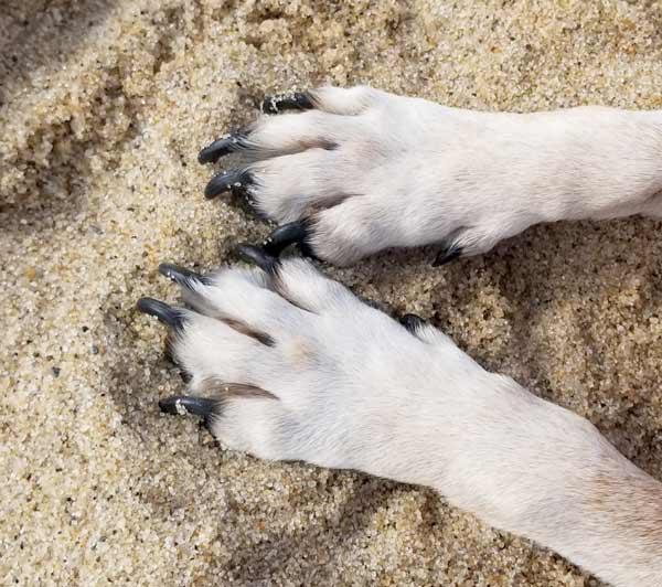 Dog paws in sand on Coast Guard Road beach in Truro, MA.