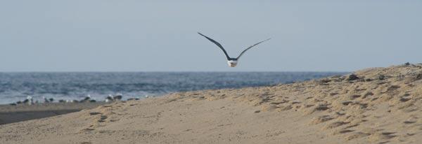 A seagull cruises up the beach in North Truro, MA, on Cape Cod.