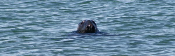 A seal swims close to shore, which raises the risk of attacks by great white sharks on cape cod.