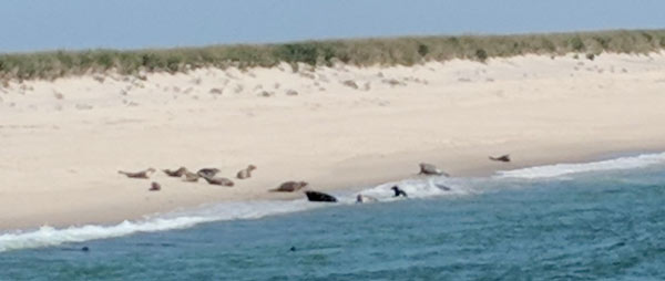 Grey seals gather onshore on a beach in Chatham, MA. Avoid swimming in waters with lots of seals to reduce risk of a shark attack.