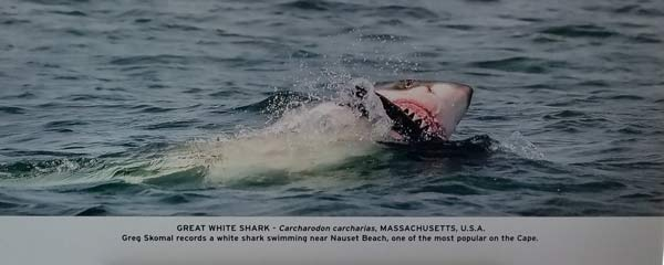 Shark attacking a seal at Nauset Beach in Orleans on Cape Cod.
