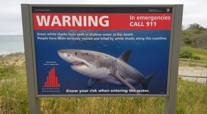 great white sharks on cape cod
