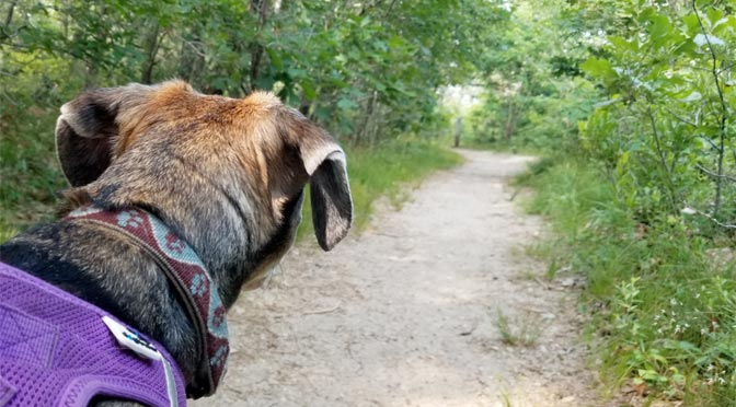 The trails at Thompson's Field in Harwich are nice and wide, but you still need to check your dog for ticks when you're done your hike.