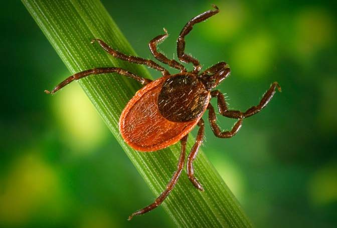 Ticks on cape cod are everywhere, these tips will help you learn how to keep your family and your dogs safe.