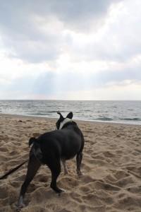 boston-terrier-race-point-beach