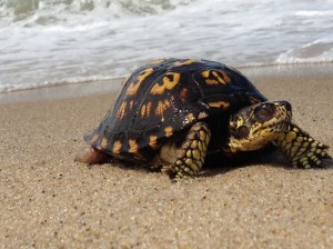 box-turtle-race-point-beach (1)
