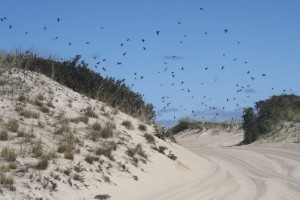 flock-birds-race-point-orv-trail