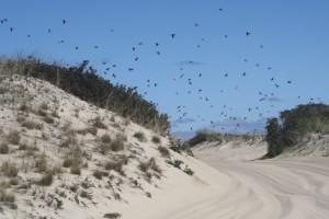 flock-birds-race-point-orv-trail